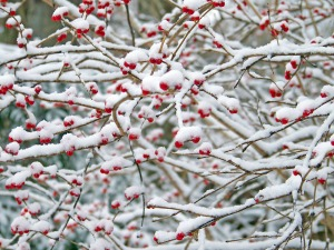red-berries-in-the-snow-4-1106612990796787tx